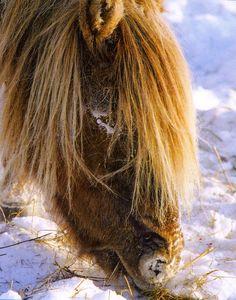 Yakut horse – Sakha Yakutia – Heart of Siberia Horses In Snow, Horses And Dogs, Wild Horses, Horse Breeds, Horse Art, Primitive, Donkeys, Heart, Ireland