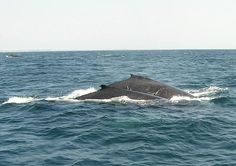 Whales and their calves return to Nuarro Eco Lodge, Mozambique's waters for the summer