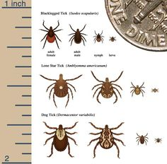 Courtesy of the CDC - types of ticks. The blacklegged tick is the type that can carry Lyme disease.