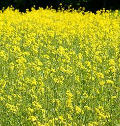 Mustard.  Plant Spring to Summer.  Fast Growing.  5-12 Lb. per acre.  Bees and benefical insects.  Not a nitrogen fixer.  Suppresses soil-borne fungi and nematodes.