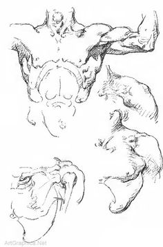 muscles, arm, trunk, anatomy art