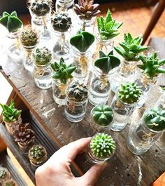 Succulents and cactus hydroponics (Goto cactus x plant and sundries store Kitowa: timber and rings) Succulent Gardening, Succulent Terrarium, Cacti And Succulents, Planting Succulents, Planting Flowers, Hydroponic Gardening, Hydroponics, Plante Carnivore, Plants Are Friends