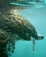Plastic pollution - Image says a thousands words - a Sea turtle entangled in a g. - Plastic pollution – Image says a thousands words – a Sea turtle entangled in a ghost net. Ocean Pollution, Plastic Pollution, Ocean Garbage Patch, World Animal Protection, Save Our Earth, Save Our Oceans, Environmental Issues, Animals Of The World, Ocean Life