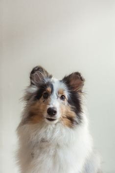 "Click visit site and Check out Cool ""SHELTIE"" T-shirts. This website is superb. Tip: You can search ""your name"" or ""your favorite shirts"" at search bar on the top."
