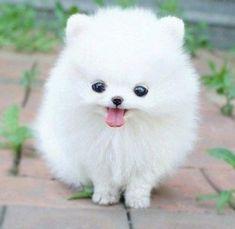 Teacup Pom...adorable