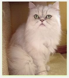 Before you buy a cat, check out this site! Purebred Cat Rescue - Lots of lovable kitties that need homes.