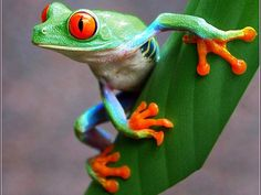 Red Eyed Tree Frog Coloring Page Inspirational 280 Best Frogs Images Frog toad Frog Art Cute Frogs Funny Frogs, Cute Frogs, Beautiful Creatures, Animals Beautiful, Sapo Meme, Animals And Pets, Cute Animals, Animals Images, Frog Wallpaper