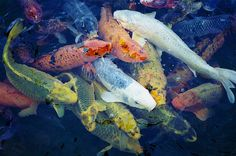 Image about pretty in fish by Gal on We Heart It Japanese Goldfish, Japanese Koi, Japanese Gardens, Coi Fish, Betta Fish, Colorful Fish, Tropical Fish, Koi Carp, Fish Ponds