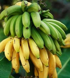 Add tropical banana trees to your landscape, no matter where you live! Just pot up your Dwarf Cavendish Banana Trees for easy growth. Fruit Trees Uk, Fruit Trees For Sale, Dwarf Fruit Trees, Fast Growing Trees, Growing Plants, Banana Tree For Sale, Banana Types, How To Grow Bananas, Rosario
