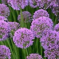 Allium 'Millenium', Ornamental Allium, Purple flowers, Summer Purple Flowers