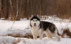 2880x1800 Husky in the snow Wallpaper Background Image. View, download, comment, and rate - Wallpaper Abyss #siberianhusky