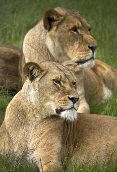 On watch #lions
