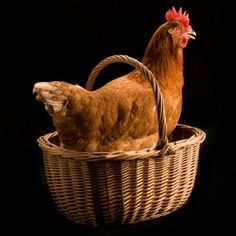 Rent-A- #Chicken Is the Hot New Way to Get Your Eggs
