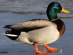 Drake Mallard Duck | Drake Mallard duck walking on ice | Flickr - Photo Sharing!