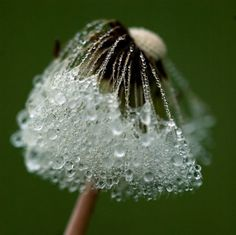 I like this different perspective on the dandelion. Typically you see them in full or on fire but the dew drops are a nice touch!
