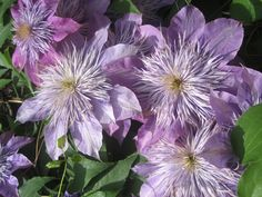Janice, I just saw your comment in the last couple of days. Sorry for my delay. My mother-in-law says that these are Crystal Fountain Clematis. Have fun digging in the dirt! Clematis Vine, Fountain, Vines, Flora, Law, Have Fun, Couple, Crystals, World