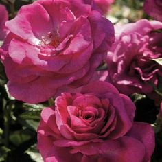 Google image of a jackson and Perkins grandiflora rose.