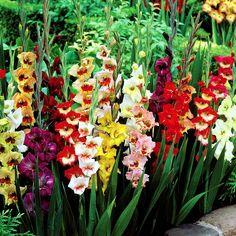 Gladioli large flowering mix - 10 flower bulbs buy online order now