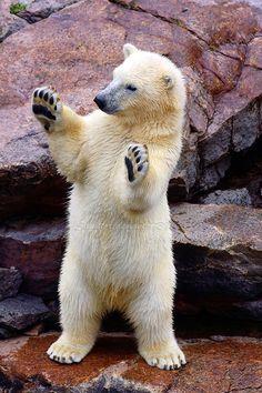 'Hold UP' - photo by Sagittor, via deviantART; baby polar bear at Zoo Sauvage, Quebec, Canada Bear Photos, Bear Pictures, Nature Animals, Animals And Pets, Wild Animals, Cute Baby Animals, Funny Animals, Bear Cubs, Polar Bears
