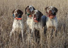 braque francais chasse | Les 25 meilleures idées concernant Braque Du Bourbonnais ... Braque Du Bourbonnais, Dog List, Purebred Dogs, German Shorthaired Pointer, Hunting Dogs, Dog Breeds, Puppies, Pointers, Animals