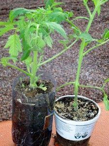 Ras le bol d'avoir des tomates malades ? Apprenez à faire pousser des tomates saines en 9 étapes (sans utiliser de produits chimiques) • PotagerDurable.com