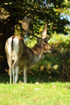 Fallow deer by Andy Silver Fallow Deer, All Gods Creatures, Mobile Wallpaper, Animals Beautiful, Kangaroo, Woods, Beast, Hunting, Wildlife
