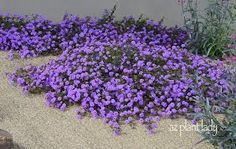 Trailing lantana is one of my favorite ground covers for sunny locations. Barely reaching 6-12 inches tall, trailing lantana will spread to cover two square feet per plant – a great choice when you have a lot of ground to cover. Available with lavender or white flowers, trailing lantana is a native plant that is very butterfly friendly