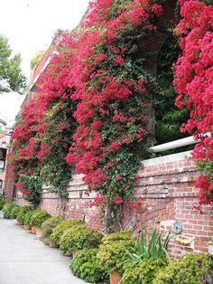 Bougainvillea Wall In San Francisco How Beautiful, Beautiful Gardens, Beautiful Places, Bougainvillea, Flowering Trees, Garden Gates, Backyard Landscaping, Beautiful Landscapes, Shrubs