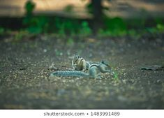 Explore 85 high-quality, royalty-free stock images and photos by ZAPPL available for purchase at Shutterstock. Royalty Free Images, Royalty Free Stock Photos, Stock Footage, Squirrel, Photo Editing, National Parks, Illustration, Artist