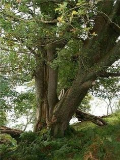 Island oaks, Inchmurrin Island, Loch Lomond, Trossachs National Park, Scotland.