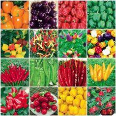 Many varieties of pepper seeds, colorful pepper purple pepper red pepper bonsai, plants, fresh seeds 100%, 100 / bag