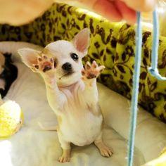 Effective Potty Training Chihuahua Consistency Is Key Ideas. Brilliant Potty Training Chihuahua Consistency Is Key Ideas. Chihuahua Puppies, Teacup Chihuahua, Cute Puppies, Cute Dogs, Chihuahuas, Bulldog Puppies, Baby Animals, Cute Animals, Mundo Animal