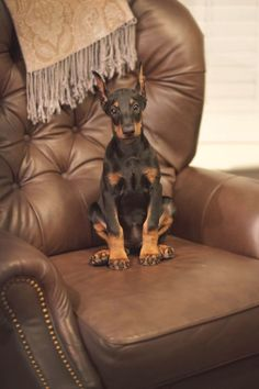 The Doberman Pinscher is among the most popular breed of dogs in the world. Known for its intelligence and loyalty, the Pinscher is both a police- favorite bree Doberman Pinscher Puppy, Dachshund Puppies, Cute Dogs And Puppies, I Love Dogs, Doggies, Beautiful Dogs, Animals Beautiful, Doberman Love, Cute Baby Animals