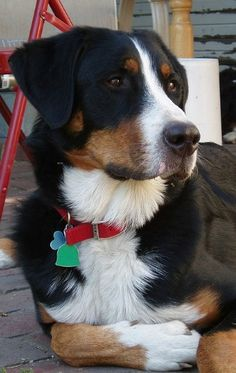 Relaxed swiss mountain dog