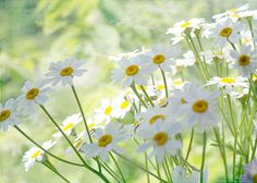 Daisy Print Shabby Chic Home Flower Photography by JudyStalus