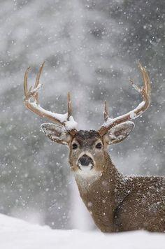 deer.winter.snow.photography