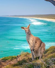 """Australia on Instagram: """"⭐ Top performing posts of 2020 - #9 ⭐ """"Pardon me for staring, it's just been a while since we've had guests!"""" 😃@northstraddieisland's…"""""""