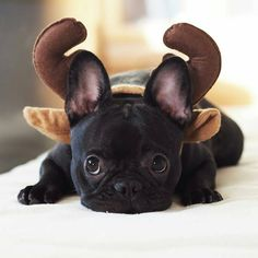 """I WAS a French Bulldog Puppy.I guess I'm now a Reindeer"", adorable French Bulldog Puppy. Animals And Pets, Baby Animals, Funny Animals, Cute Animals, Small Animals, Cãezinhos Bulldog, French Bulldog Puppies, Frenchie Puppies, Mini French Bulldogs"