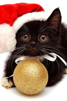 The 10 cutest Christmas cats... holidaycat3