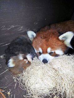 Red Panda baby and mother nap time :)))) Cute Little Animals, Cute Funny Animals, Cute Dogs, Panda Puppy, Panda Love, Animals Beautiful, Beautiful Birds, Baby Puppies, My Spirit Animal