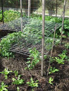 tomatoes growing thru horizontal trellis - no need for tying up........................................Love this Idea. going to implement it .