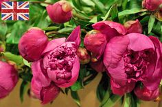 British Pink peony at New Covent Garden Flower Market - June 2014