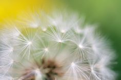 the fluff of a dandelion