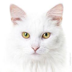 white cat beauty