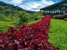 Tea shop on Cameron Highlands, Malaysia