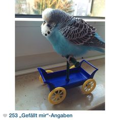 World's Cutest Budgie - at http://logingram.com/index.php/main/media/939260371278840518_625822895