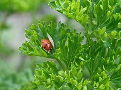 Ladybug working on parsley in the vegetable garden