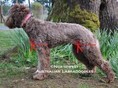 Clipping your labradoodle whether you do the work yourself or have it done can be a challenge. Finding a groomer that doesn't give your labradoodle a poodle clip has been a big challenge for… Dog Grooming Styles, Dog Grooming Tips, Dog Grooming Business, Goldendoodle Grooming, Labradoodle Haircuts, Goldendoodles, Labradoodles, Bernedoodle Puppy, Cavapoo
