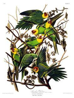 Pájaros de Audubon, pintor y aventurero caribeño