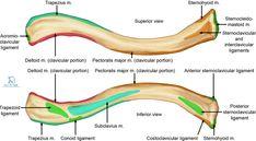Shoulder Pain Relief Home Remedies Human Skeleton Anatomy, Human Anatomy, Anatomy Bones, Skull Anatomy, Acromioclavicular Joint, Human Body Structure, Shoulder Muscles, Shoulder Joint, Sternocleidomastoid Muscle